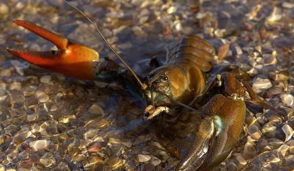 signal-crayfish-in-defensive-posture